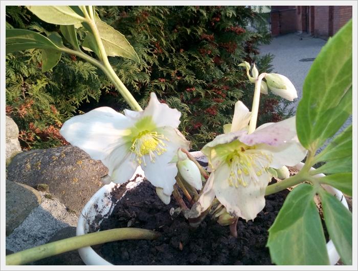Пані Ліля прикрасила квітами наш храм на урочистість Христа Царя Всесвіту.